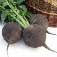 Radish Black Spanish Round 1200 Seeds